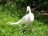 Selby Gardens White Egret_1023x768.JPG