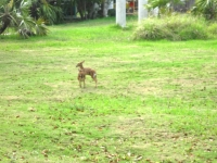 Big Pine Key - Baby Deer 2_1024x767.JPG