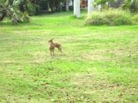 Big Pine Key - Baby Deer 2_1024x767.JPG