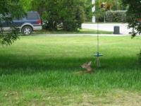 Big Pine Key - Deer_1024x767.JPG